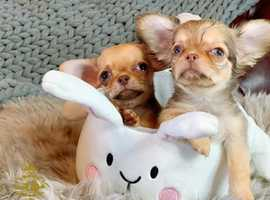 THE BEST QUALITY CHIHUAHUA PUPPIES IN UK