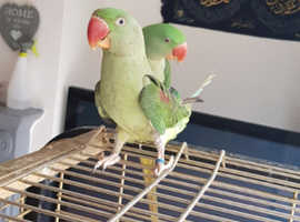 2 alexandrine parrots male & female with cage