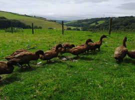Khaki campbell ducks for sale