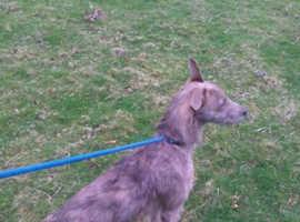 Deerhound grey beddie grey x whippet grey