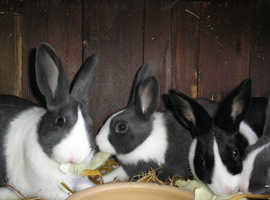 Dutch rabbits in blue and white
