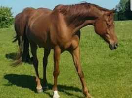 outstanding Arab gelding