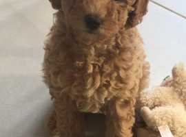 Gorgeous poodle pup 1 girl left!