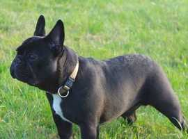 charming Black bull dog is super cute & playful and loves children. He is social as can be and will surely make you fall in love with him