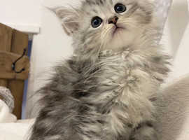 Maine Coon Silver Tabby kittens