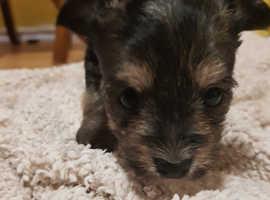 4 chorkie puppies