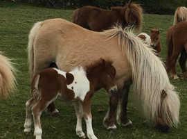 Registered Miniature Shetland Colt Foal