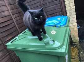 Missing Cat - Buddy, Long Hair Black Cat