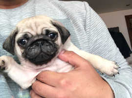 KC REGISTERED FAWN AND BLACK TEA CUP PUG GIRLS