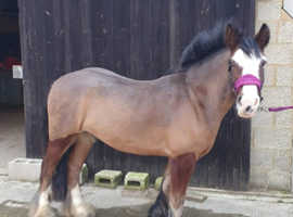 14.3 Rising 4 Bay Welsh Cob Full Feather