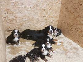 Bernese Mountain Dog Puppies / Pups