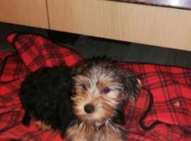 York puppies