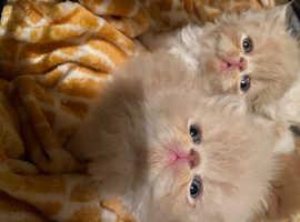 Gorgeous ultra flat face persian kittens