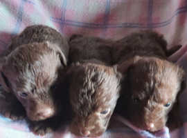 Beautiful chocolate Jackapoo puppies