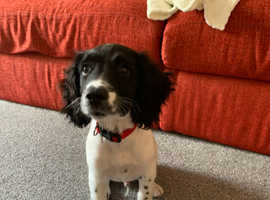Male English springer spaniel 15weeks
