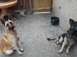 German shepherd puppies!!!