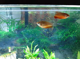 dwarf gourami Male & Female Robin Red FREE TO GOOD HOME