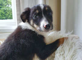 Quality border collie pups for sale