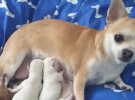 Long Haired Chihuahua in Wrexham   Dogs & Puppies For Sale
