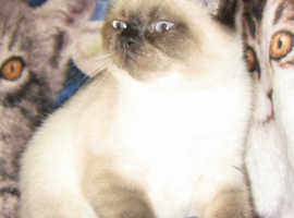 BSH seal point kittens avalilable