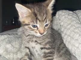 Smokey Egyptian Mau X kittens