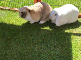PETA & JESS Adorable dwarf mini lop's