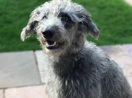 Bedlington terrier x whippet first cross stud