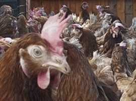 Chickens For Sale & Rehome in Argyll and Bute | Find