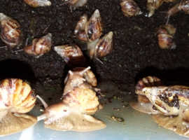 6 month old African baby snails