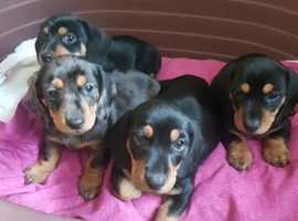 Miniature smooth haired dachshund puppies