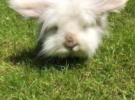 White Lionhead Rabbit FREE to a good home!