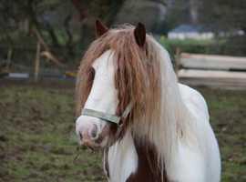 13.2/3 cob mare