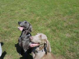 3  beautiful silver female  weimaraner pups