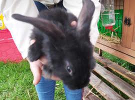 7 baby flemish gaint bunny's