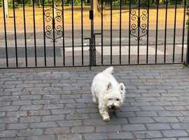 Sally our west highland terrier dog