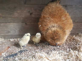 Silkie Hatching Eggs - half dozen
