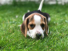 Female Beagle puppy 9 weeks old