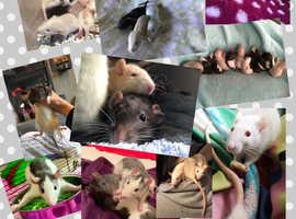 Baby rats ready on the 19th November