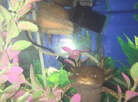 Axolotl copper eggs