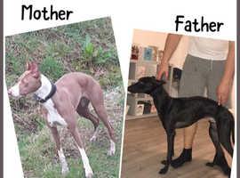 Lurcher pups for sale