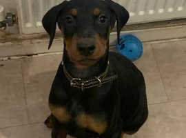 Update * now Only 1 femaleDoberman pups left,11weeks old, vacinated