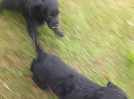 Collie x spaniel puppies sprollie
