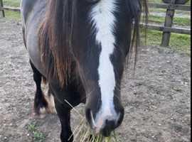 Very pretty cob mare