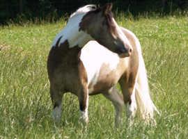 Buckskin Coloured Pony
