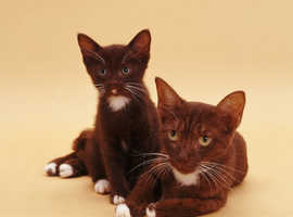 Very Playfull Havana's Kittens