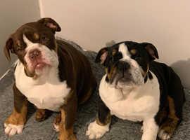 Kc reg English bulldog  girl pups