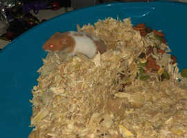 2 baby Syrian hamsters