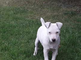 White Lakeland terrier dog