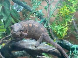 Girl panther chameleon