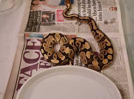 2019 pastel yellowbelly female royal python
